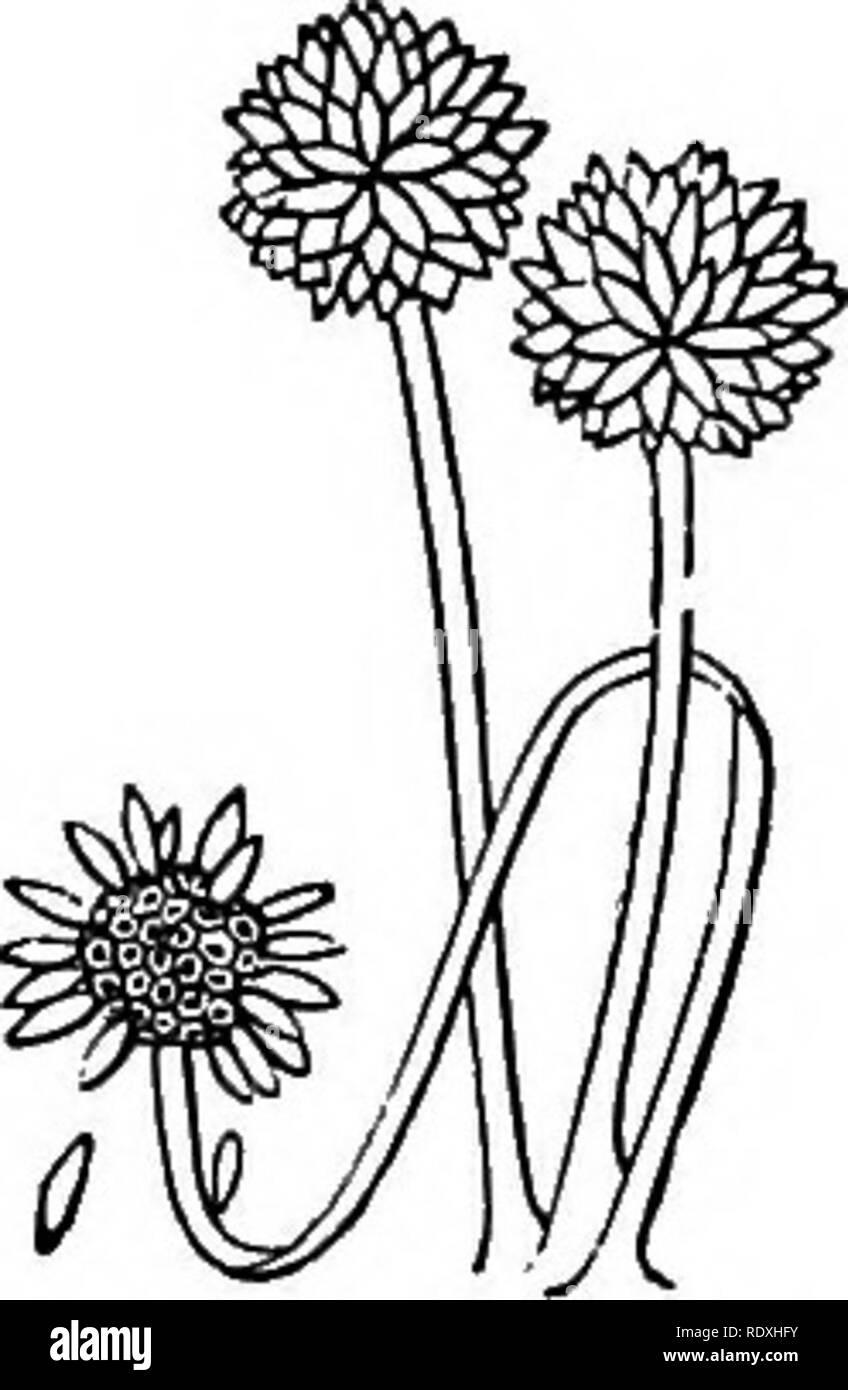 . Introduction à l'étude des champignons; leur organography, classification, et la distribution, à l'usage des collectionneurs. Les champignons. Le CAEPOPHORE CHAPTEK III1 le mycélium, sous toutes ses formes et variantes, n'est que le prélude et la préparation pour l'élaboration de ces pièces ou organes qui peuvent être nécessaires pour les processus de la reproduction. La production de la carpophore est, en soi, qu'une continuation du processus de la végétation, mais ce n'est plus de la végétation, souterrains ou rampante, subcuticulaire invariablement; il est plus ou moins, dans le développement, à angle droit avec le mycélium, un Banque D'Images