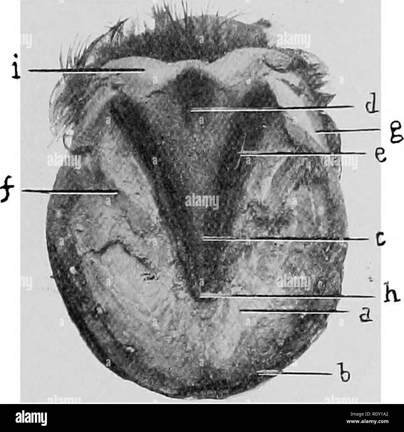 . Les maladies du pied du cheval . Sabots; chevaux. EEGIONAL 41 ANATOMIE-toe sera vu une petite crête en forme de un, qui est une continuation directe de la même importance en forme avant mentionné sur la face interne du mur. Ce Fleming a qualifié la toe-séjour, à partir d'une idée qu'elle sert à maintenir la position de l'os pedis. L'ensemble de la face supérieure de la semelle est couverte de nombreuses perforations fines qui reçoivent les papilles sensibles de la sole. La face inférieure est concave, plus ou moins selon les circonstances, sa partie la plus profonde d'être au point de la grenouille. À partir de la pente thi Photo Stock