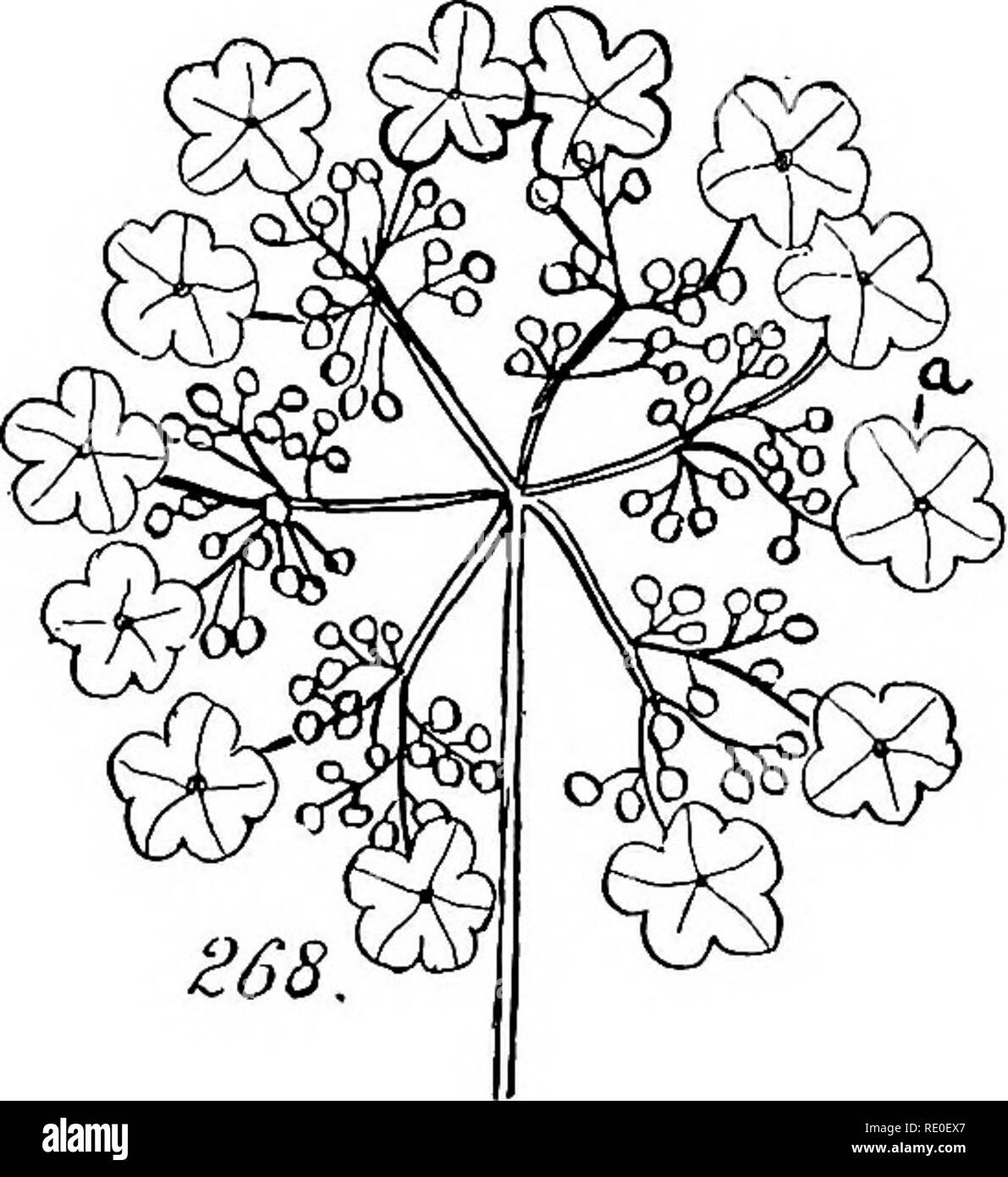 Un manuel de botanique structurels ; un manuel introductif