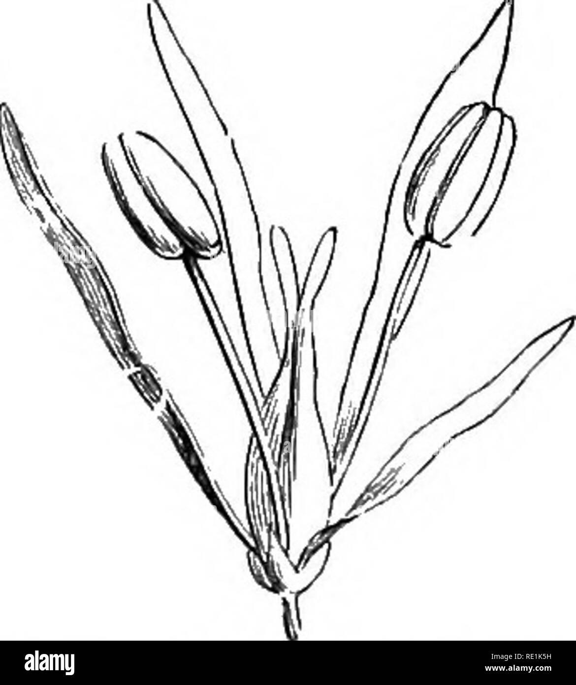 . Un manuel de botanique. La botanique. Ay. 1148. Diagramme de la fleur de lilas le tuihjai^j firinga j'^). Fuj. 1149. Fleur de la Manna Ash iFiv.ciiuis Ornii.j), avec 4 fentes calice; corolle à 4 pétales distincts; 2 étamines: et 2 carpelles. Fici. 1150. La section verticale du calice et pistil du troène (^Ligii&lrinn vi/fgnn'). Floivers habituellement parfait, ou rarement unisexuées. Calice persistant, 4-8-opage de gauche, parfois obsolètes, inférieur. Régulière de la corolle, 4-8- une fente, ou de 4 pétales distincts, ou absente; valvaires csstivation ou imbriqué. Étamines généralement 2, rarement 4. Ovaire supérieur, 2- loculaire, avec 1-4 e Banque D'Images