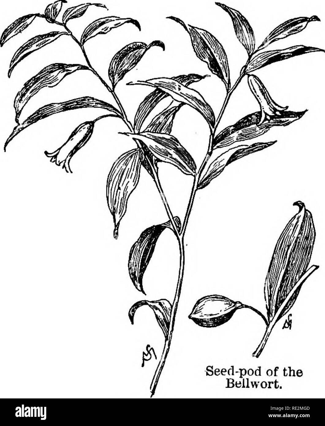 . Champ de fleurs familières et jardin;. La botanique. Le chapitre II. Avril et mai. Floraison de Wintergreen. BoUwort. La fleur de l'bellwort est plutôt odkenasessilifoUa. ,^^ insignifiantes, s'atténue peu de chose, que l'on remarque à peine, à moins que la plante a été choisi, et sa face cachée (d'où dépend la cloche) transformé en vue. La fleur est de couleur crème-, la face supérieure des feuilles est vert pâle, et le sous sur- face vert bleuâtre. L'usine n'est pas souvent plus de huit pouces de haut comme elle pousse dans Beiiwort. 15. Seed-pod du Bellwort.. Veuillez noter que ces images sont extraites Photo Stock