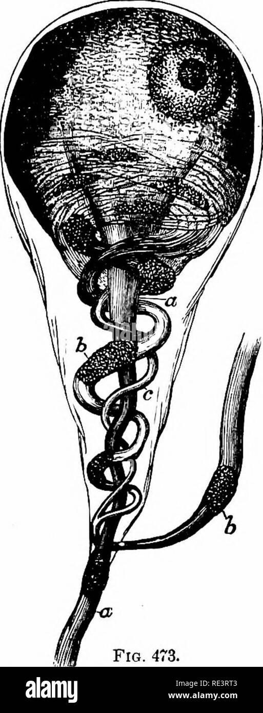 . Un texte-livre de physiologie animale, avec des chapitres d'introduction sur la biologie générale et un traitement complet de la reproduction ... La Physiologie, comparatif. .:!J'.:!j'.:!j'.:!i .s) 636 physiologie animale. Relations extérieures de la sympathique et cérébro-spinale. Pas de division du système nerveux a été ainsi, parce que tellement peu de relation avec d'autres parties, comme le sympathique. Il est également souhaitable de tenter de coordonner les nerfs spinaux et cérébraux mieux; et diverses tentatives en ce sens ont été faites. Très récemment un plan, par lequel l'ensemble des nerfs l'émission de fr Banque D'Images