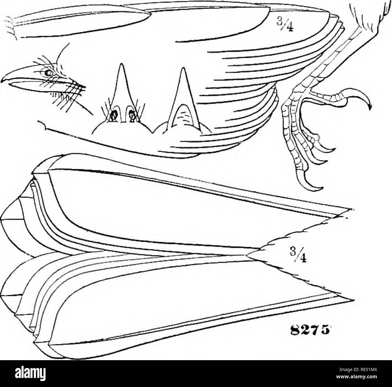 . Examen des oiseaux de l'Amérique dans le musée de la Smithsonian Institution: pt. 1 . Les oiseaux. PHjENOPEPLA. 415 La crête de cette espèce semble plus longue que dans civereus; la queue est très différemment dans les grands en forme de prolongation et aiguë de l'Europe centrale vers le bas (près de la moitié de plus que le latéral), et l'obtention du diplôme du reste, au lieu d'être près de même. Ces plumes, aussi, sont plus étroites. L'Épic apparaissent plutôt moins atténué. La principale différence en couleur consiste dans le jaune- ish-grecn de la tête et du cou, soulagée que par le gris de haut de la tête; le Photo Stock