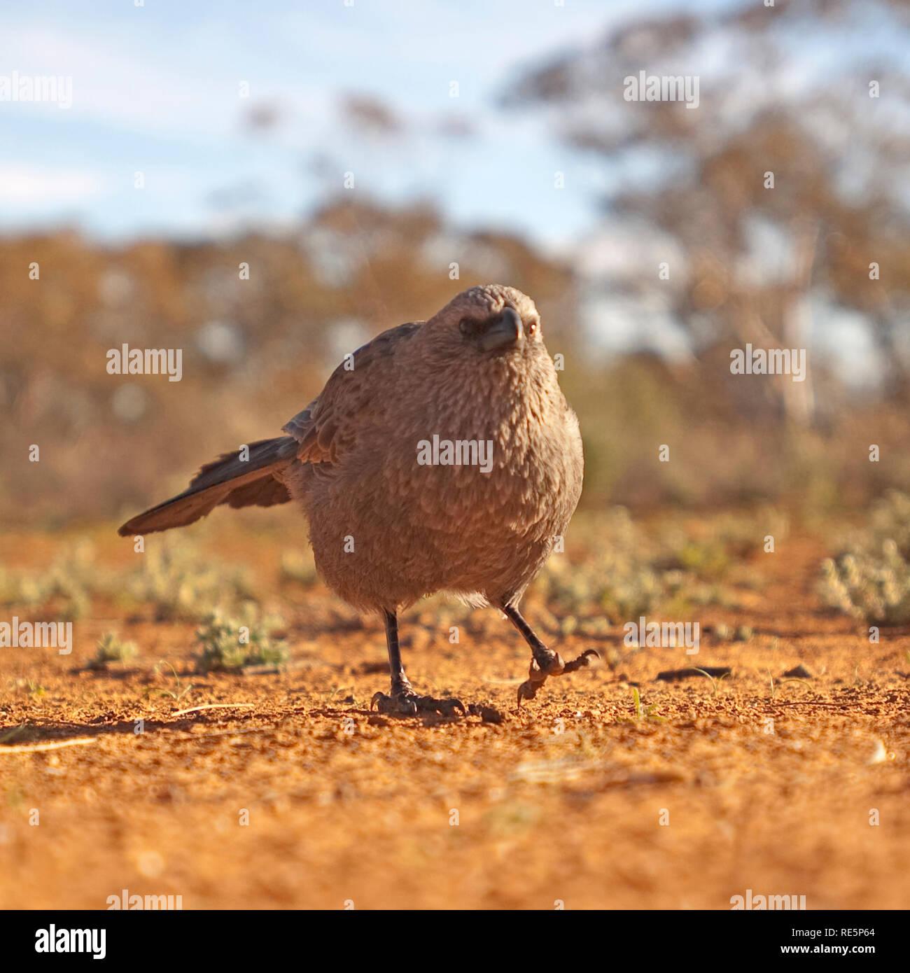 Oiseau de l'apôtre, Mungo National Park, New South Wales, Australie Banque D'Images