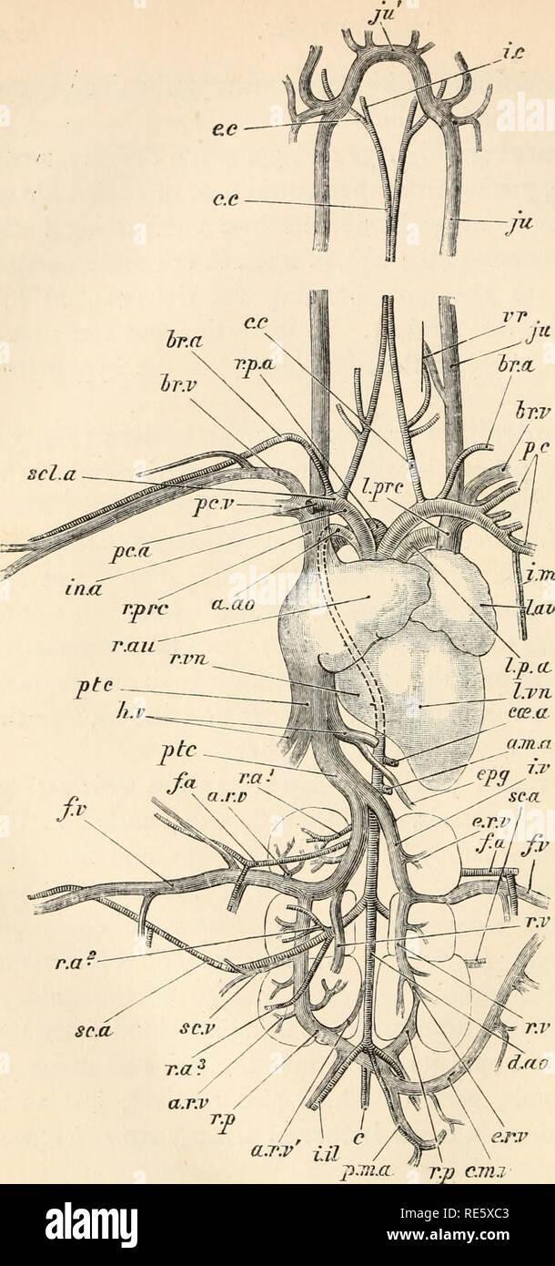 . Un cours d'instruction en zootomy (vertébrés). Anatomie, comparatif. r.r.prc au. sc.a FIG. 54.-Columba livia. Le système vasculaire sanguin, de l'aspect ventrale (nat.).. Veuillez noter que ces images sont extraites de la page numérisée des images qui peuvent avoir été retouchées numériquement pour plus de lisibilité - coloration et l'aspect de ces illustrations ne peut pas parfaitement ressembler à l'œuvre originale.. Parker, T. Jeffery (Thomas Jeffery), 1850-1897. Londres, Macmillan Banque D'Images