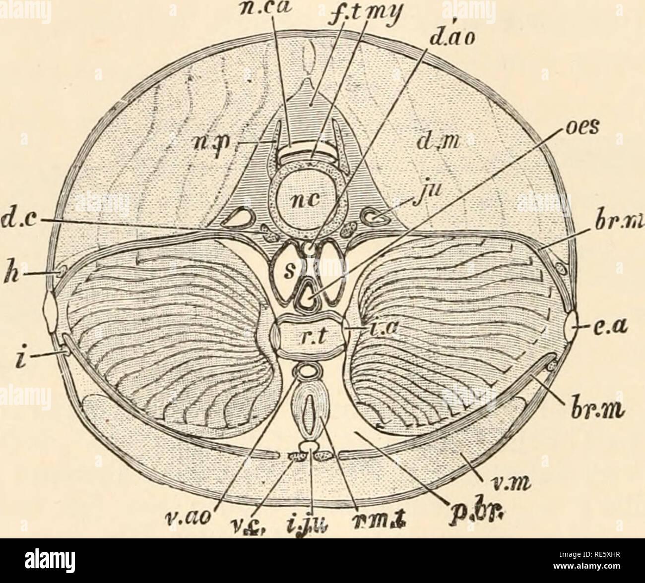 . Un cours d'instruction en zootomy (vertébrés). Anatomie, comparatif. 12 ZOOTOMY. disposés en segments transversaux, appelés myotomes ou myocommas séparées entre elles par des forts disques de tissu fibreux. Chaque myotome prend en zigzag; en commençant par le milieu de la ligne dorsale, il passe brusquement en arrière, puis d'abord doucement, puis de plus en avant vers l'arrière, et enfin l'avant brusquement. Le plan de l'myotomes n'est pas perpendiculaire à l'axe du corps, mais a tendance à partir de la surface, l'intérieur et vers l'avant. Les fibres musculaires qui les composent sont, c.-à-d. un longitudinal Banque D'Images