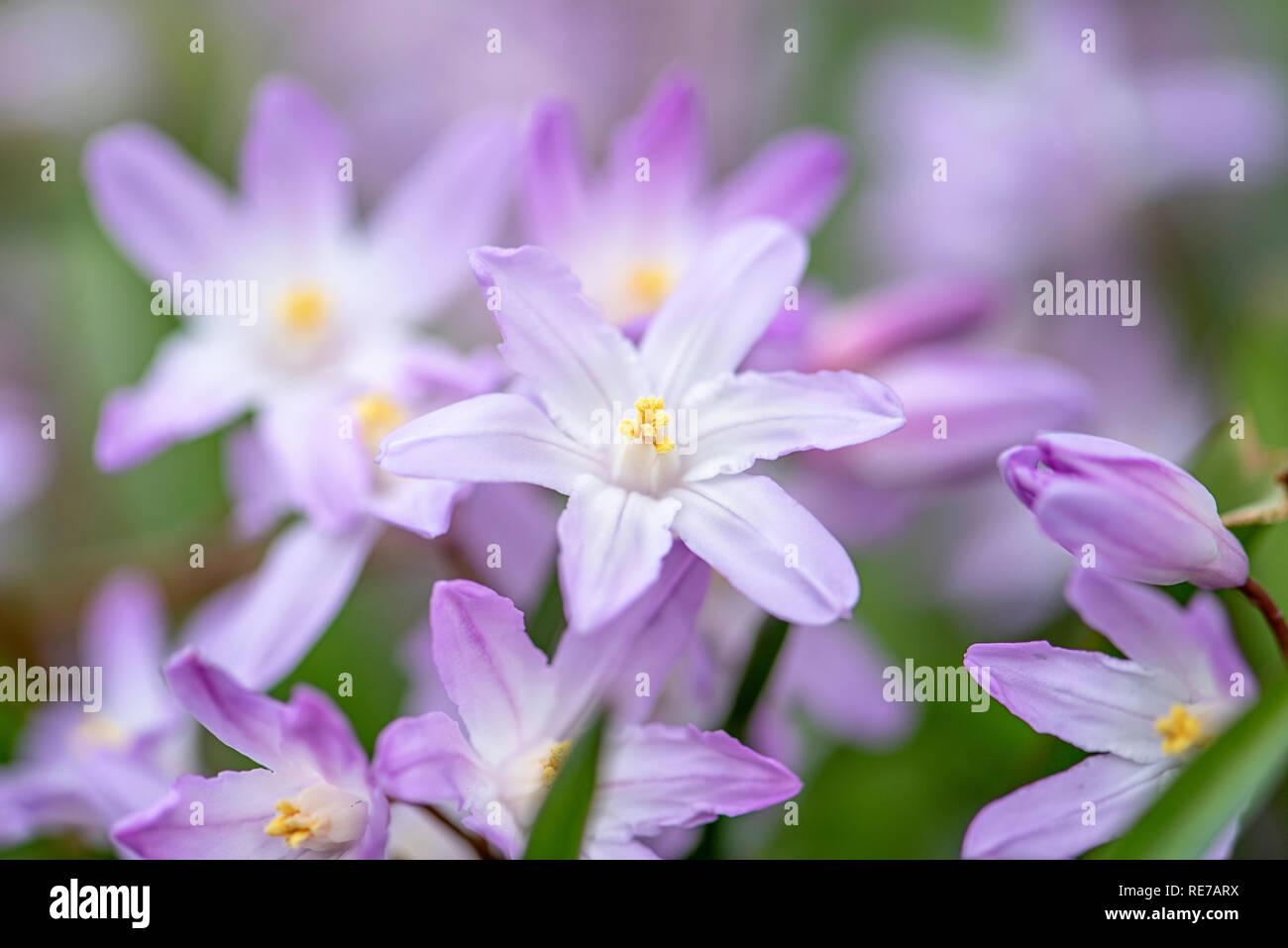 Close-up image de la floraison de printemps Chionodoxa luciliae, la Bossier's glory-de-la-neige ou la gloire de Lucile-de-la-neige, Banque D'Images