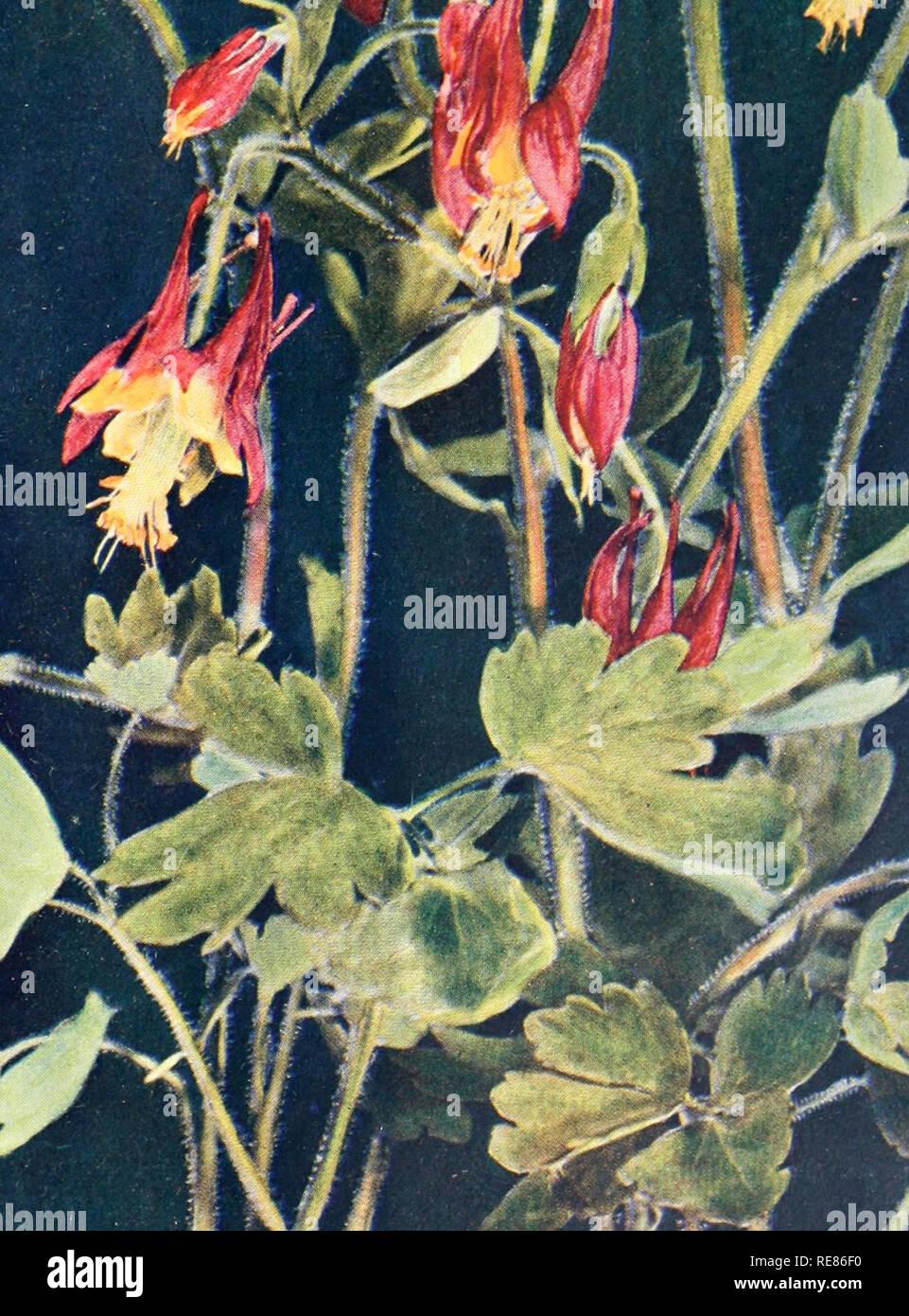 L Herbier Du Midi Produits Naturels canadensis pennsylvania photos & canadensis pennsylvania