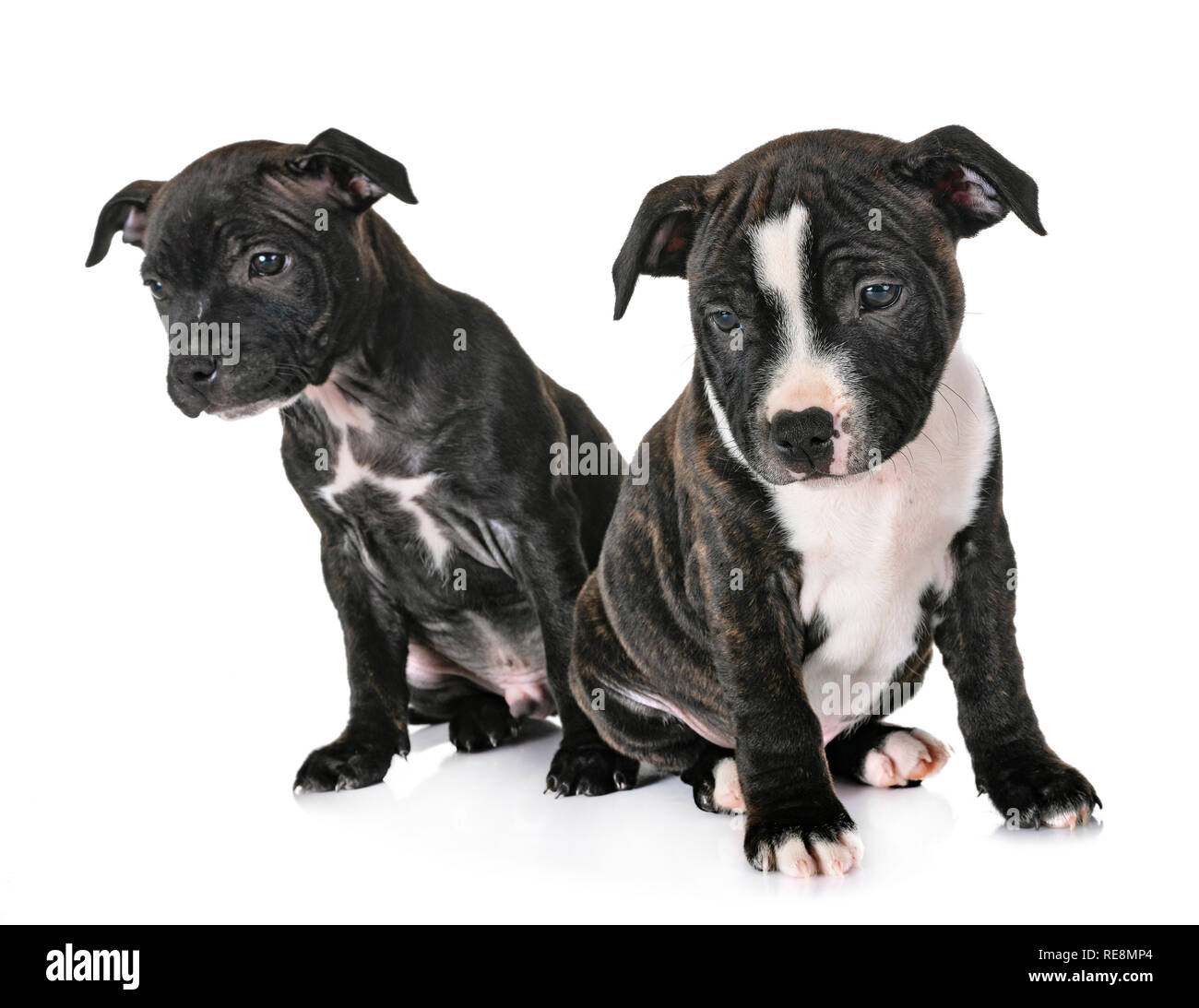 Chiots Staffordshire Bull Terrier In Front Of White