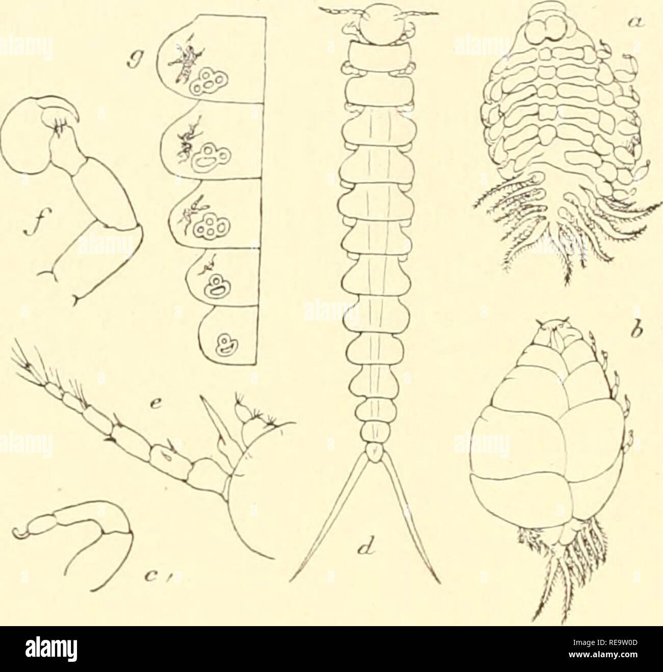. Une contribution de l'étude des Ãpicarides les Bopyridae. Bopyridae; généalogie. 256 â â Voici la description de cette espà côte d'aprè¨s Leidy: La fenieUe adulte le corps d'un comprimé, distordu, ovoïde et de couleur; les oostà blanclie©giles cou- vrent îtement la masse des Åufs de couleur blanc- rose. La tîte est proémi- nente et pourvue d'une paire de longs disques ovales situés à la face dorsale ('). La bouche est petite et située au sommet d'une papille trilobée. Les antennes sont trà¨s petites et indistinctes. Les somites tboraciques jnarquà sont fortement©s posté- rieurement; je Photo Stock
