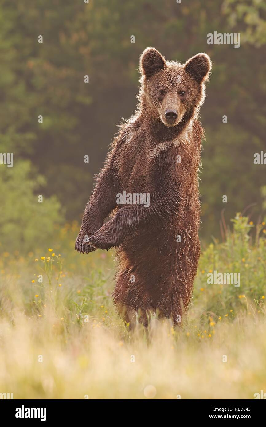 Les jeunes curieux sauvages Ours brun, Ursus arctos, debout en position verticale Photo Stock