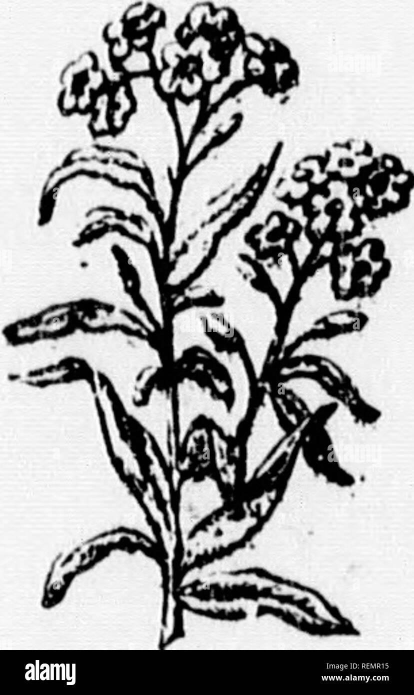 """. Leçons de choses [microforme]: 4e, 5e, 6e année. Sciences naturelles; Sciences; Sciences; histoire naturelle. ,R* /7Â"""" FeuiUi IjU'I'I'Â""""Â"""". l^ partagée en deux lèvres, d'où '^^ leur nom. Presque toutes les labiées sont aromatiques. Les principales plantes de cette famille sont: la menthe. la mélisse., le lierre terrestre, TI151U. le thym,la8ope,la sarriette. Elles servent presque toutes à la médecine ainsi qu'à la prépréparation des eaux de senteur et des liqueurs. XI.âQuel is the horragiiière des caractées? Les borraginées ont la tige cylindri- que, couverte de poils, ordinairement Photo Stock"""
