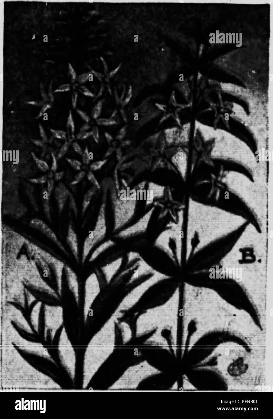 . [Microforme] guide de fleurs: fleurs sauvages à l'Est des Rocheuses. Fleurs; Fleurs; botanique; botanique. w. Famille PRIMROSE (t'riiiiifhirt II ) (A) Ykij.ow T,(&gt;(est. :sri;ii k i l.iixinKirlihi rcKtiis-en). Yolliiw iHisfstritc,T a un grand, ^Iniilcr siiiijili.' >ti'ni fniiii S Astuce:i4 pouces hi^HR. 'Ii,,. lancciilatc iMiiiitid me laisse-sti.'iiili'ss ai](l eniwiliMl aloi!- â… i,. tige. ritli niipiisitclv altcTiiately.T ou. , Tli. Ilâa... ., ,ike est l,âin et contient des nian.v , sIimkIit lanls.n,  j.iliccls tlicv; (.pen dans le ImjI- toiM ot till, spiki. upwanls. Kai'li ll,mi.r a vivre, nninteil p Banque D'Images