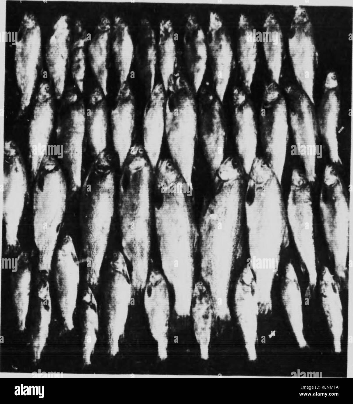 . Les poissons jeu de la Colombie-Britannique [microform]. Poissons; poissons; pêche sportive; la pêche. Le gouvernement provincial exige que les organismes rcsi.lenis de prendre un permis provincial pour anKJinn. ainsi qu'une licence pour tuer le gros gibier. Une licence portera sur l'ensemble de la province. Applicitionn pour la pêche et le tir de licences, il m.i.le Xo le Provincial Game Warden, Vancouver. British Columbi.i. Le Canada. L'écrivain est en.iebttd à Fleming, Bros, Victoria: Leckie- Ewing, d OUanagan.Lin ling: A. L. Coombs, San F-rancisco- et le Dr Bernard Scrihner. K, N., et autres, pour certains de la photographie Photo Stock