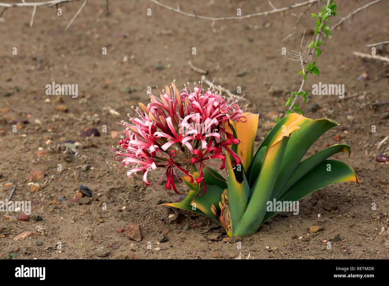 Lily bloom, sable, fleurs, parc national Kruger, Afrique du Sud, Afrique, (Crinum buphanoides) Banque D'Images