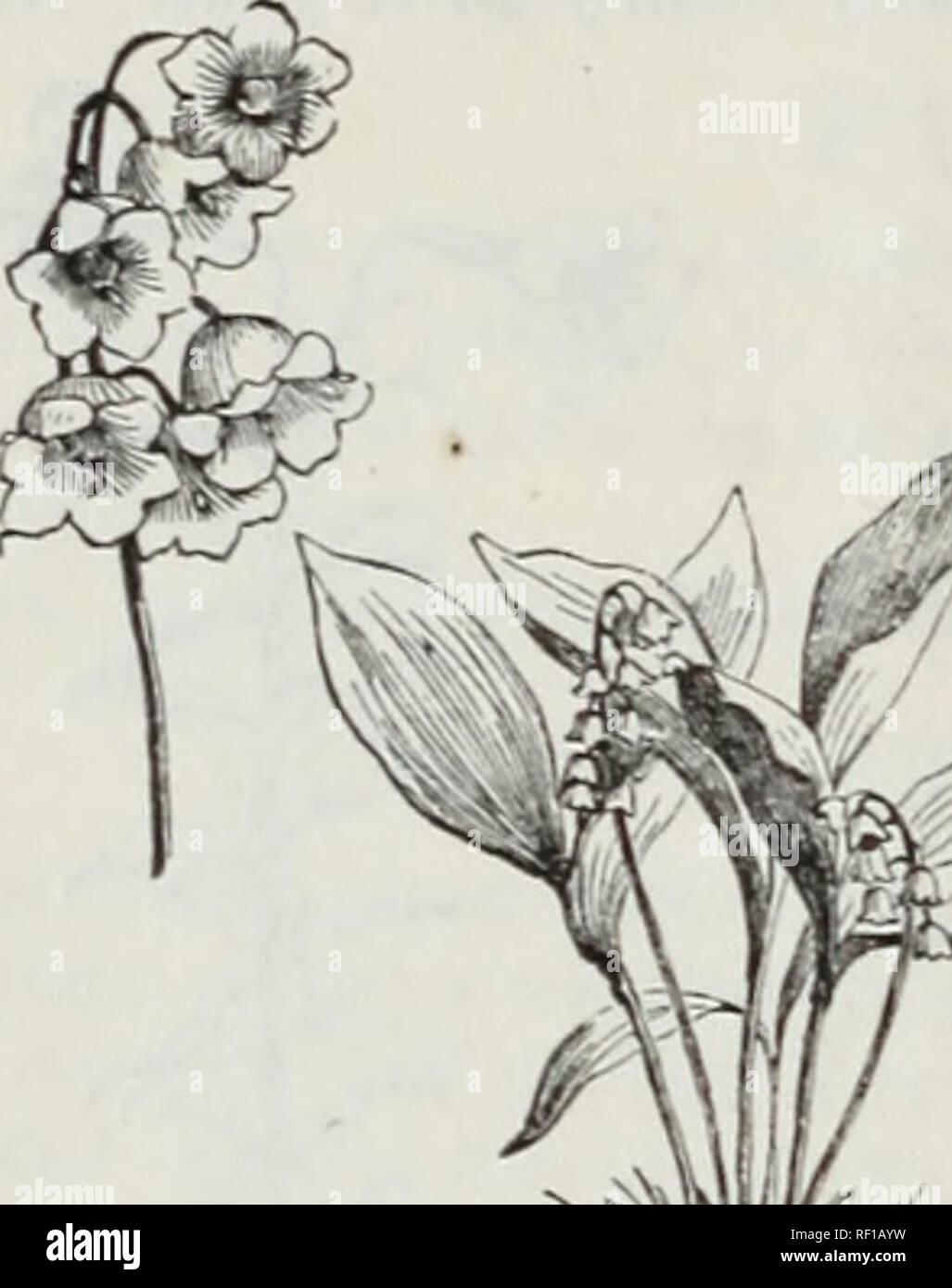 Semences pour Décoratif Chambre Plante chambre Linde Graines