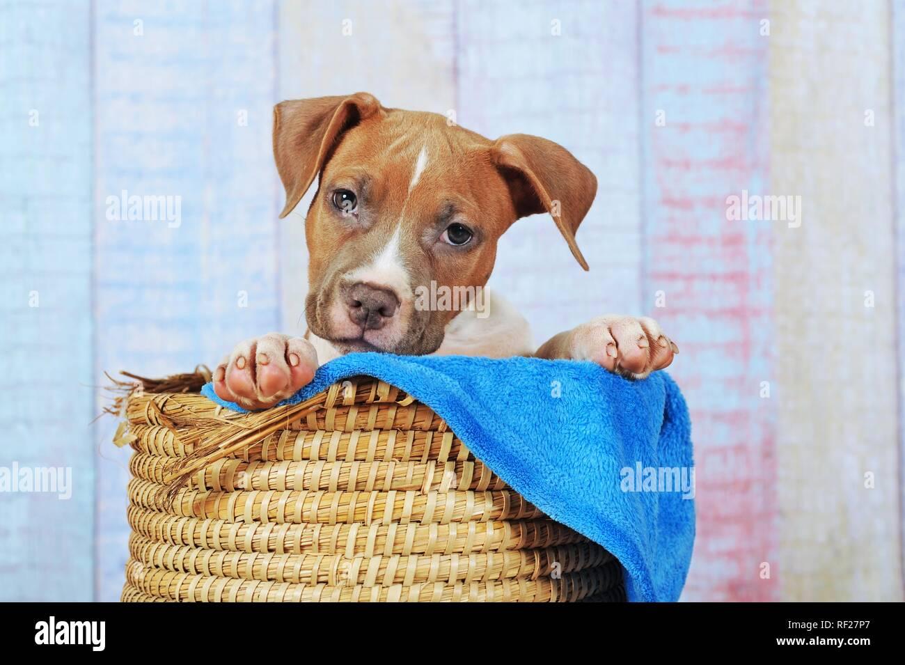 American Staffordshire Terrier, chiot de 11 semaines, rouge blanc, assis dans le panier, Autriche Banque D'Images