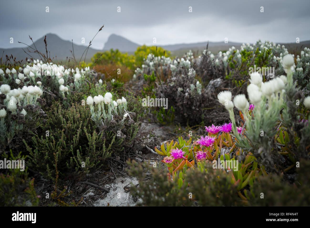 Le Cap de Bonne Espérance, le Parc National de Table Mountain, Cape Town, Afrique du Sud est reconnu comme le point de rencontre de deux océans Indien et Atlantique: Photo Stock