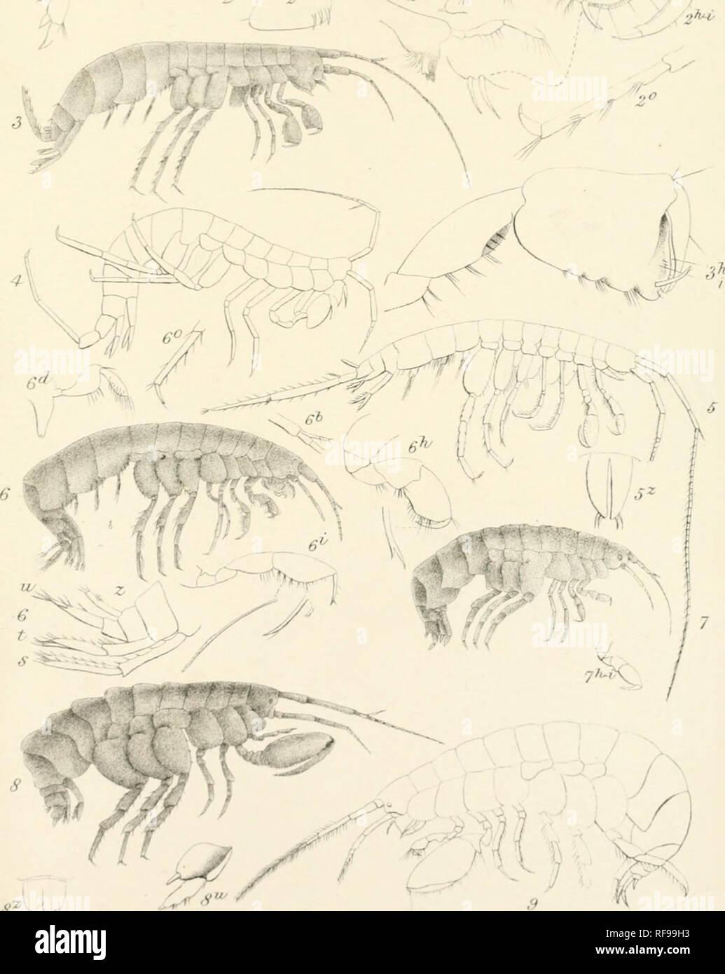 . Catalogue des spécimens d'amphipodous les crustacés dans la collection du British Museum par C. Spence Bate. Amphipodes. I I 1'. Lltfa UtaLCS£.XLB l.^sargtus Niphar-nous. 2.N.fontanus 3.N.kDchiaaus 4.N.puteanus. S.Eriqpis eJongata.. G.CrangCfnyx Sutterraneus. 7 C.Erraanii Gamraai. y.-allii.hrc/icaiulata. 9. 'CrBnisi lieusis.. Veuillez noter que ces images sont extraites de la page numérisée des images qui peuvent avoir été retouchées numériquement pour plus de lisibilité - coloration et l'aspect de ces illustrations ne peut pas parfaitement ressembler à l'œuvre originale.. British Museum (Natural History). Département de zoologie; Banque D'Images