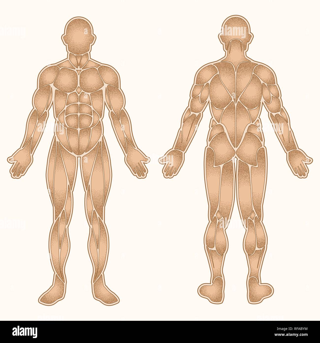 Silhouette du corps humain avec tous les muscles en pointillés isolated on white Photo Stock