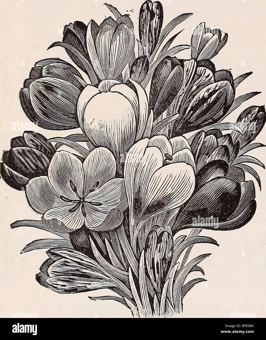 Espèces Crocus Miss vain X 50 ampoules début du printemps bulbes à fleurs