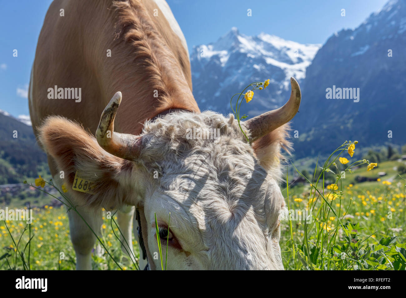 La Suisse, les Alpes, Berner Oberland, Grindelwald. Au printemps. Vache. Simmental. Banque D'Images