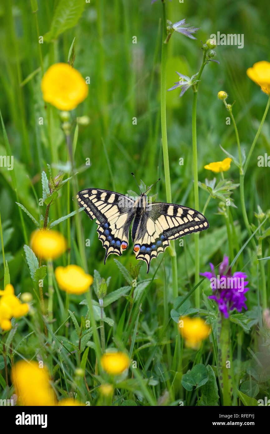 La Suisse, les Alpes, Berner Oberland, Grindelwald. Au printemps. Des fleurs. Ancien Monde (Apilio machaon machaon) renoncule sur plante. Banque D'Images