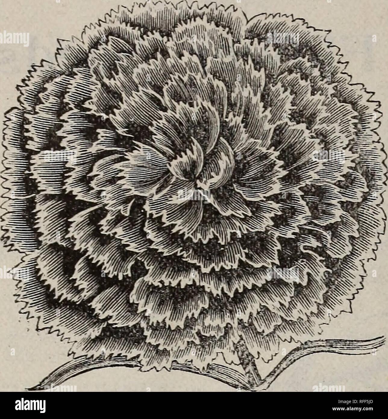 50 graines Delphinium-géant Imperial mix
