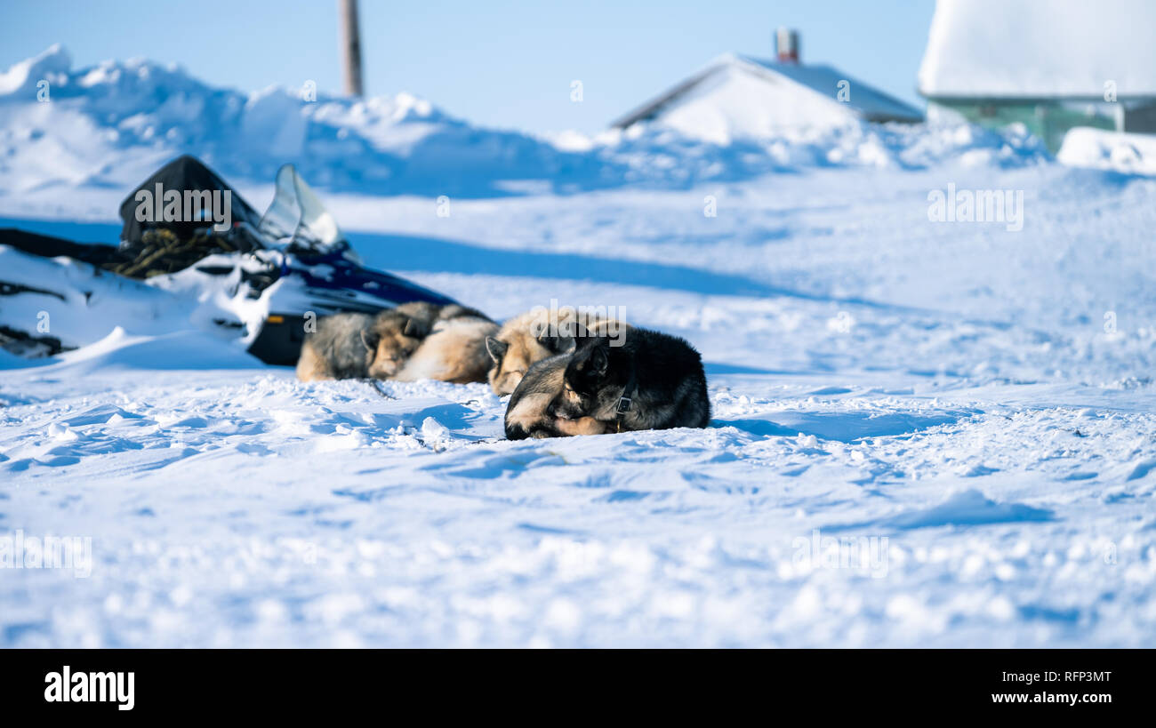 Les chiens de traîneau endormi sur la glace de mer de l'Arctique, de Tuktoyaktuk. Banque D'Images