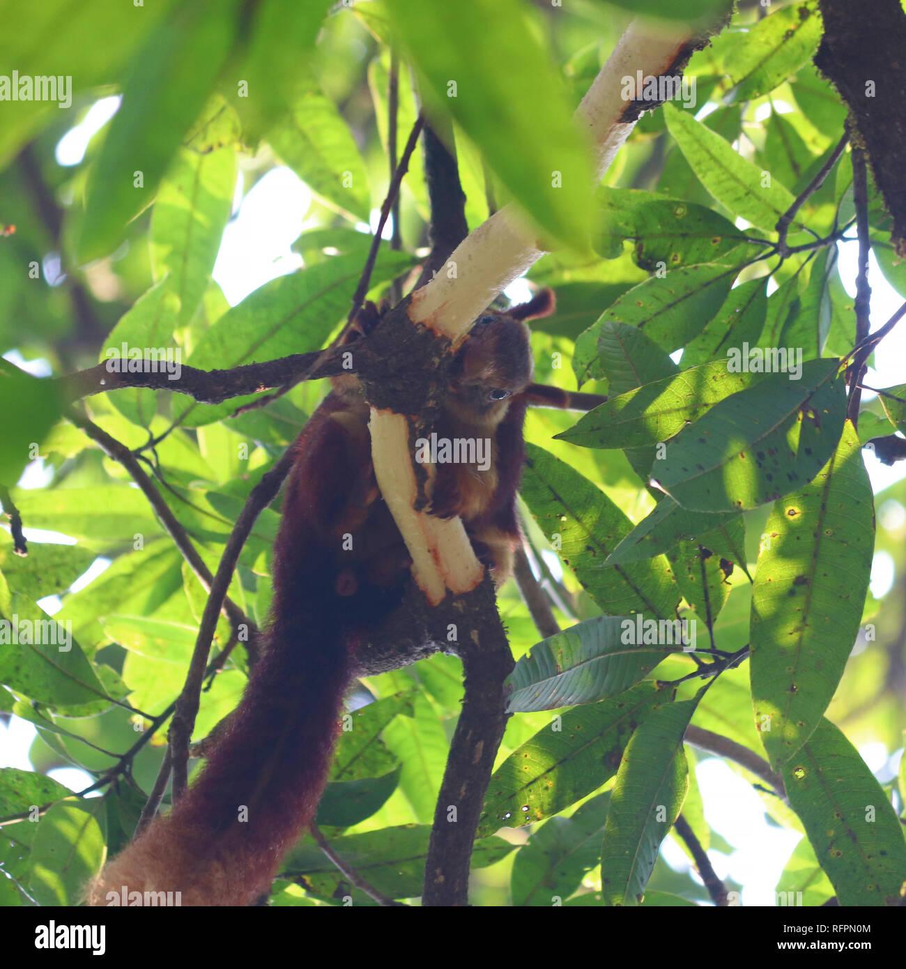 Malabar Écureuil géant se nourrit de l'écorce d'un manguier Photo Stock