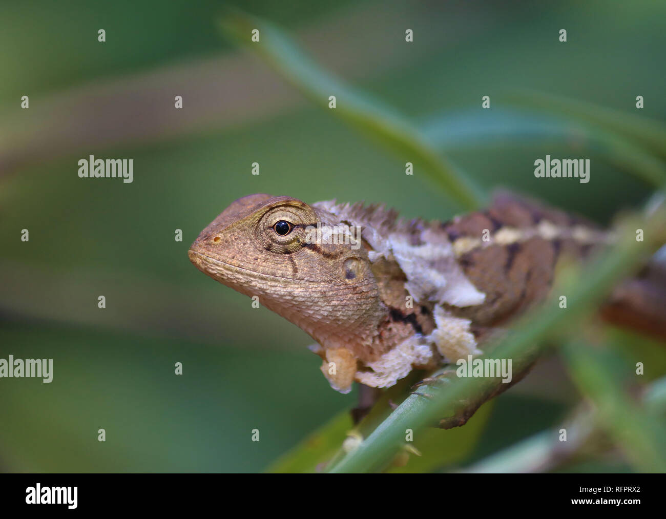 Jardin Oriental femelle Lizard skin shading Photo Stock