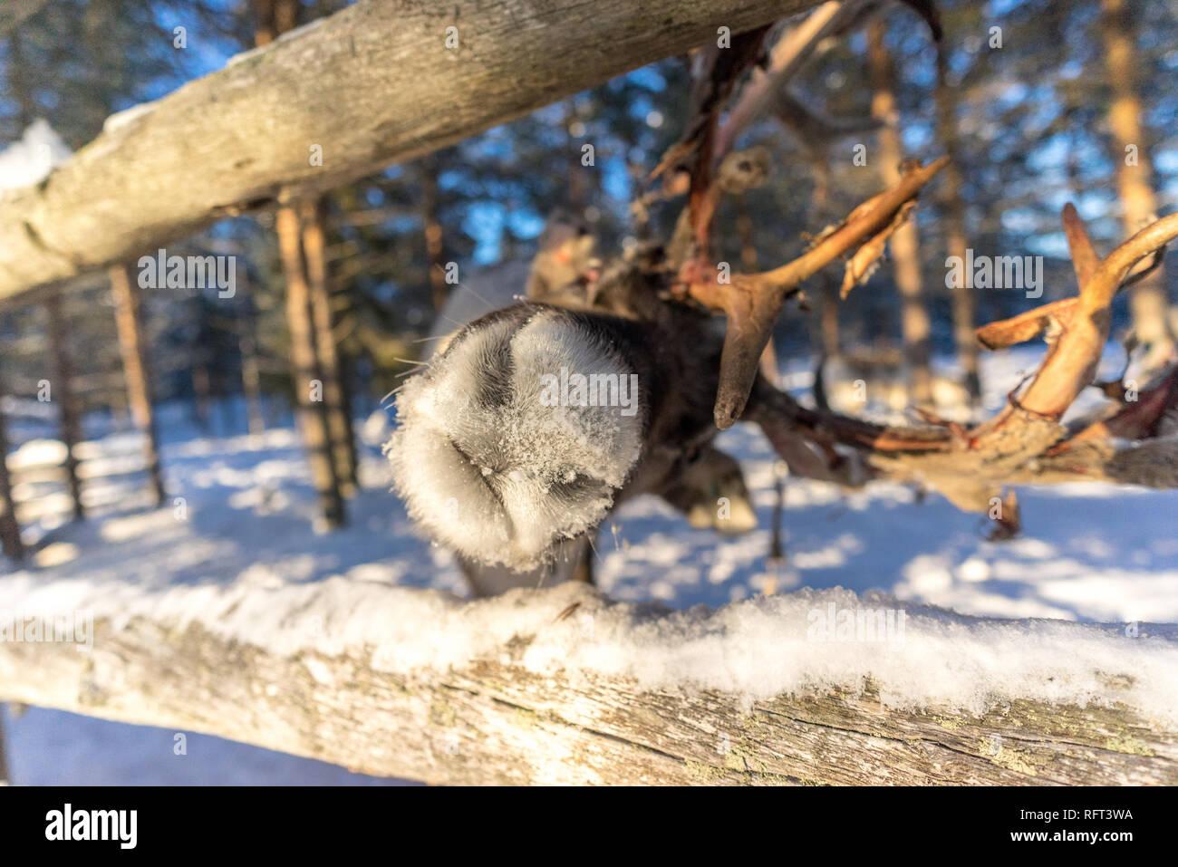 Un curieux se moque de rennes c'est nez dans un boîtier à Kopara Parc des rennes, Laponie, Finlande. Banque D'Images