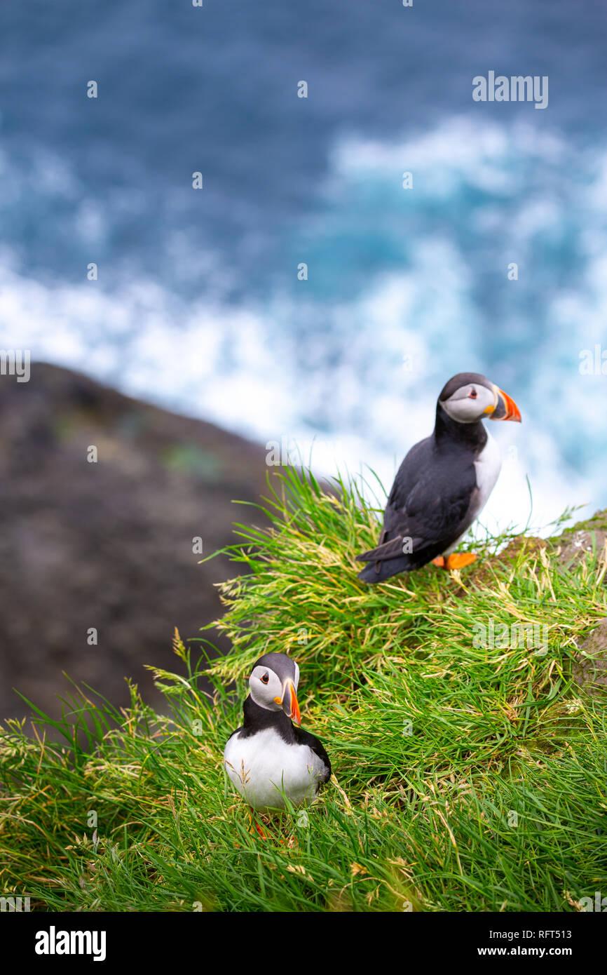 Les macareux à Îles Féroé, paysage. L'Europe sauvage Photo Stock