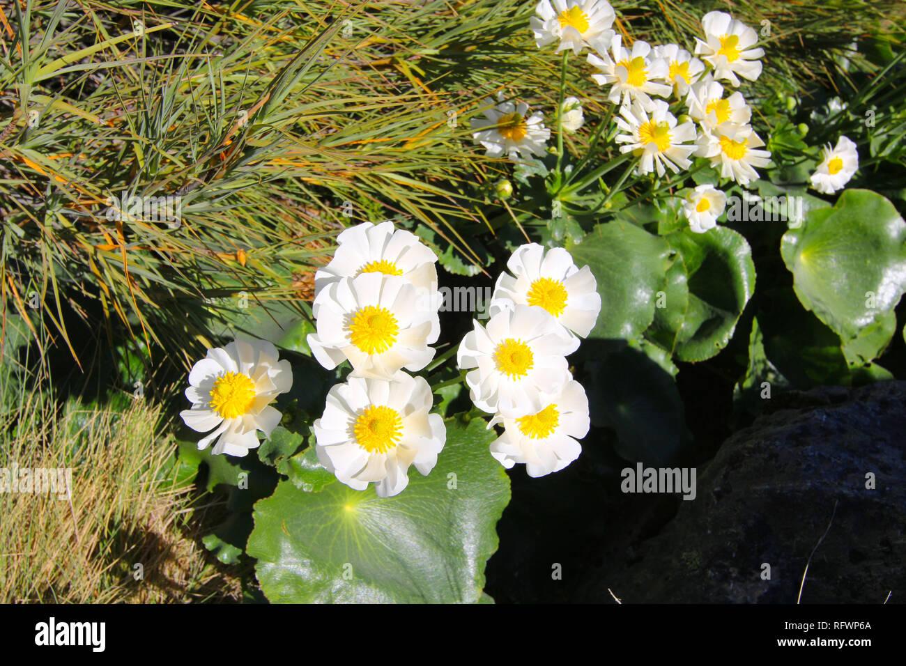 Ranunculus lyallii, une espèce de renoncule (Ranunculus), endémique de la Nouvelle-Zélande. Hooker Valley Track, île du Sud, Nouvelle-Zélande Banque D'Images