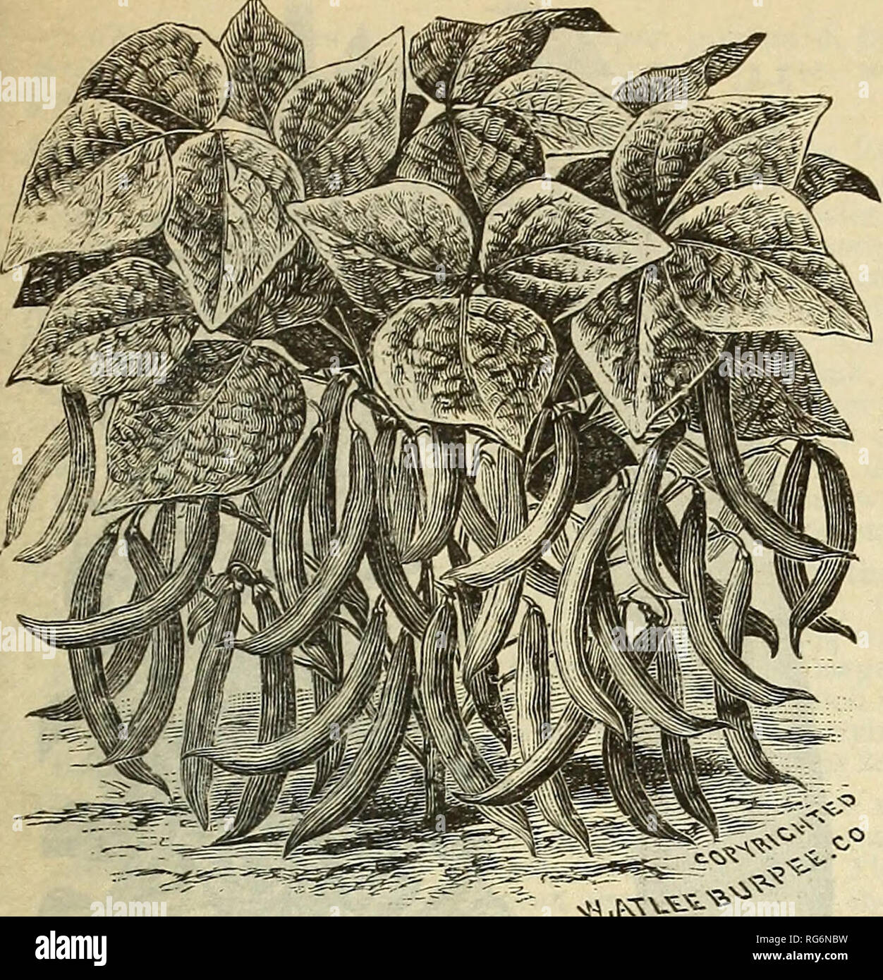 100 graines Mr fothergills-paquet illustré-légumes-nain bean ferrari