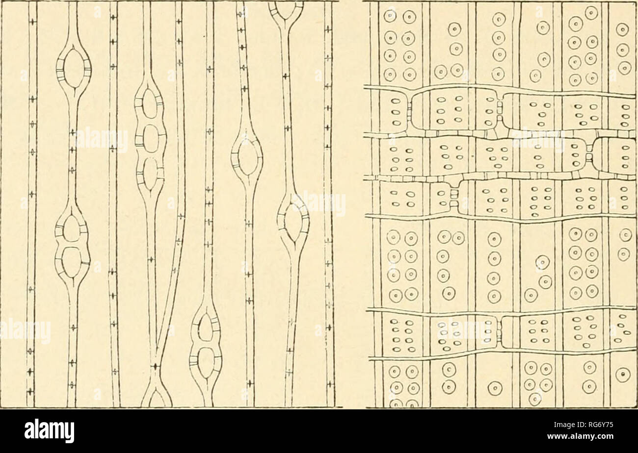". Bullettino del Laboratorio de orto botanico. Les plantes; les plantes -- Italie Sienne. 44 FL. TASSI AGATHIS Salisb. A. australis R. Br. (Kg. 17. A-B) Es. ANN. 5 - Schomogyi. mi. Palch,: 1-3; alt. : 0, 056; largii. : 0, 030; quant. par mm.-: 100; perforaz. : 4-8, dimens. : 0, 003 x 0 005; par.. spess.: 0 003 rad, tang. : 0 003. - Mid. Fig. 17. AB. Assititifi mi!j""ti alÌH arrotondate« Cellule, lisce allo stato giovane, e da adulte en parte dans sclerenchimi trasformate ramosi. - Trach. Diam. z. primav. : 0, 030, z. est. : 0, 014; par.. spess z. primav. : 0, 003, z. est. 0, 006; diam. areol. delle par.: Photo Stock"