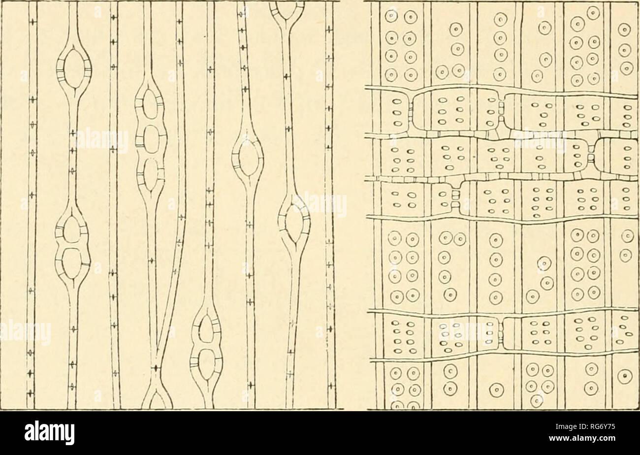 """. Bullettino del Laboratorio de orto botanico. Les plantes; les plantes -- Italie Sienne. 44 FL. TASSI AGATHIS Salisb. A. australis R. Br. (Kg. 17. A-B) Es. ANN. 5 - Schomogyi. mi. Palch,: 1-3; alt. : 0, 056; largii. : 0, 030; quant. par mm.-: 100; perforaz. : 4-8, dimens. : 0, 003 x 0 005; par.. spess.: 0 003 rad, tang. : 0 003. - Mid. Fig. 17. AB. Assititifi mi!j""""ti alÌH arrotondate« Cellule, lisce allo stato giovane, e da adulte en parte dans sclerenchimi trasformate ramosi. - Trach. Diam. z. primav. : 0, 030, z. est. : 0, 014; par.. spess z. primav. : 0, 003, z. est. 0, 006; diam. areol. delle par.: Banque D'Images"""