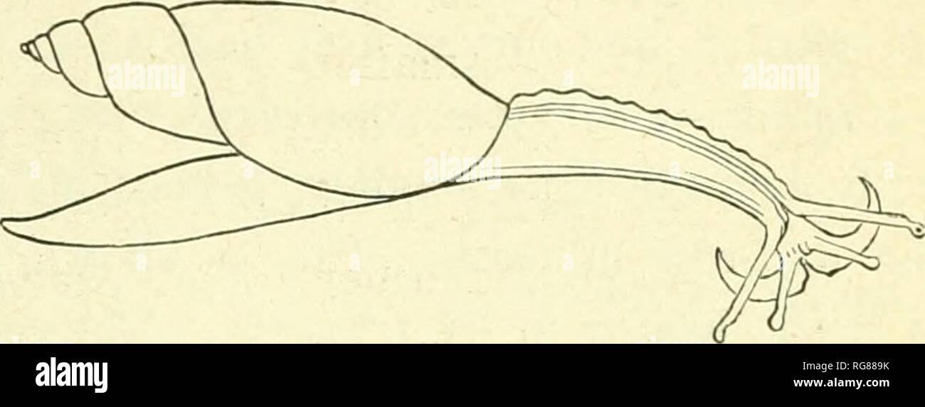 . Bulletin - United States National Museum. La science. PROVINCE DE L'EST -RÉGION DU SUD ESPÈCES. Famille 345 TESTACELLIDJE. OLAIVDINA, ScHUM. De forme oblongue, coquille fusiforme, de couleur corne verticilles; 6-8, la dernière a atténué à la base; étroite ouverture, fig.373. c'lliptically: oblong péristome simple; columelle pour torsadée- ward à la base et de Trun- qués; engluer crenu souvent traduits ou chat; de couleur uniforme ou ornés d'Glandinatru7icata, l'un-hidi la grandeur nature. longitudinal, généralement des stries brunâtres. Heliciform animale, de forme allongée, rétréci en avant; les pédoncules oculaires long, ayant l'œil-spots sur t Photo Stock