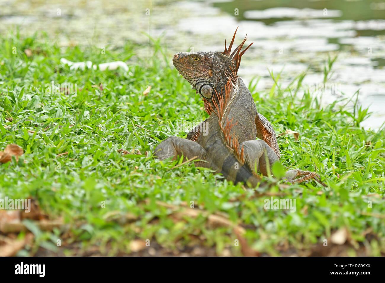 Ou commun Iguane vert (Iguana iguana) adulte assis dans l'herbe, Turrialba, Costa Rica, octobre Banque D'Images