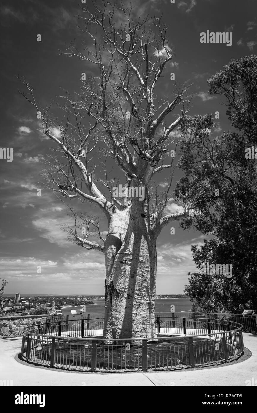 Noir Et Blanc De Ladansonia Digitata Baobab Alias Sans