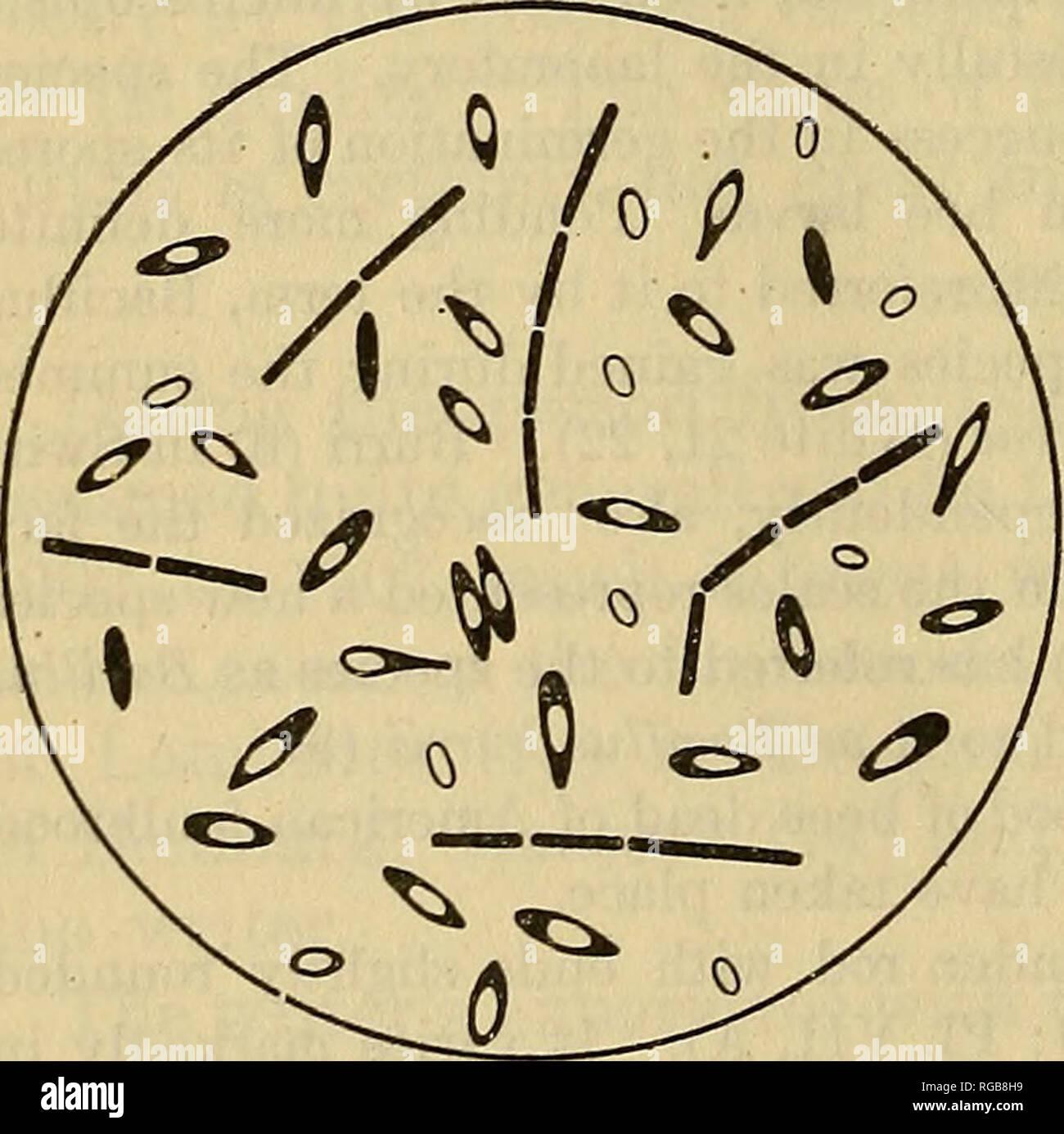 97c1c6d5803412 . Bulletin du Ministère de l Agriculture des États-Unis. L agriculture    l Agriculture. Fig. 1.-Bacillus larvae   forme végétative. Fig. 2.