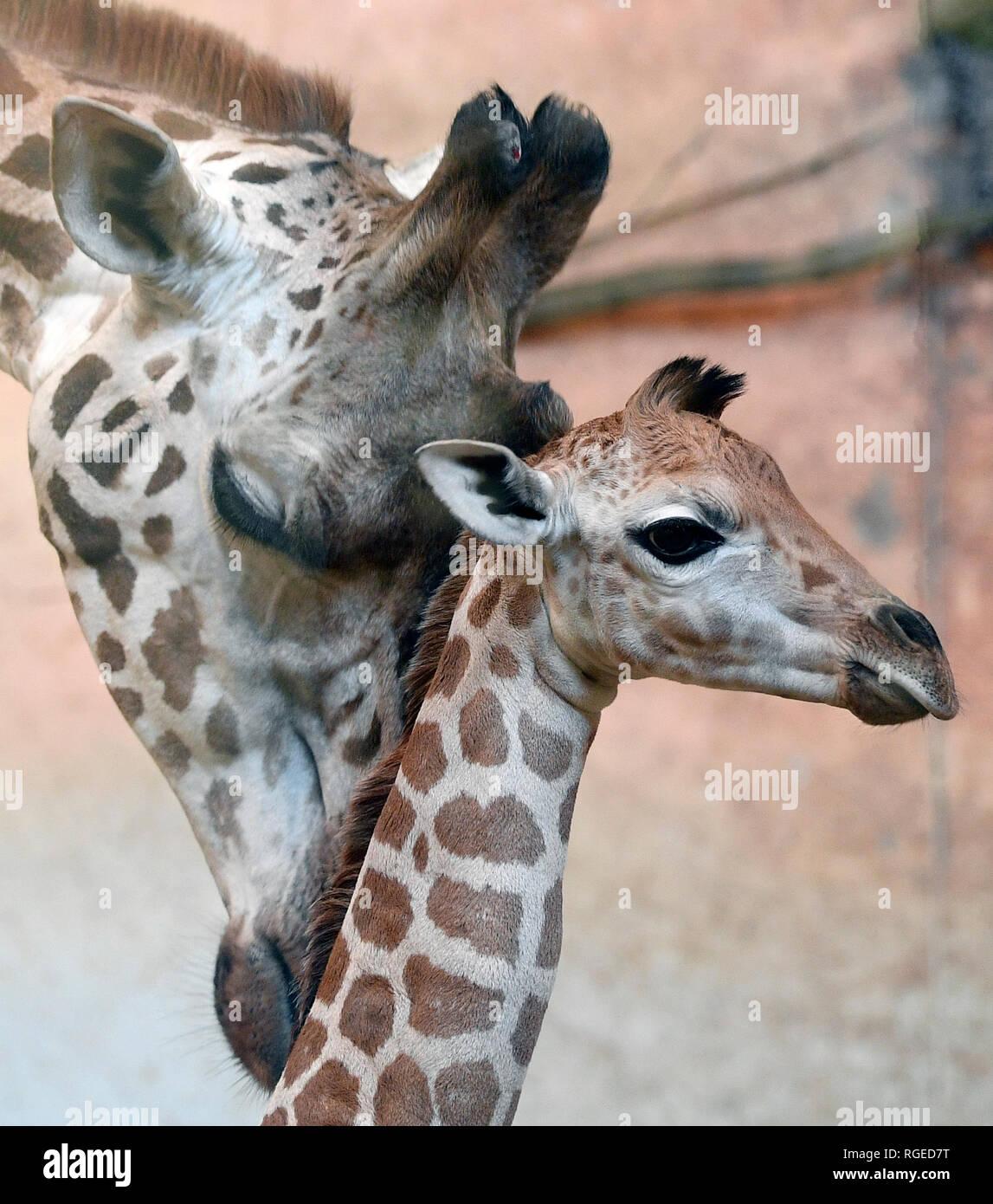 Prague, République tchèque. 29 janvier, 2019. Un vieux de quatre jours girafe Rothschild veau a été introduit pour la première fois au public par le Zoo de Prague, République tchèque, le 29 janvier 2019. Credit: Ondrej Deml/CTK Photo/Alamy Live News Photo Stock