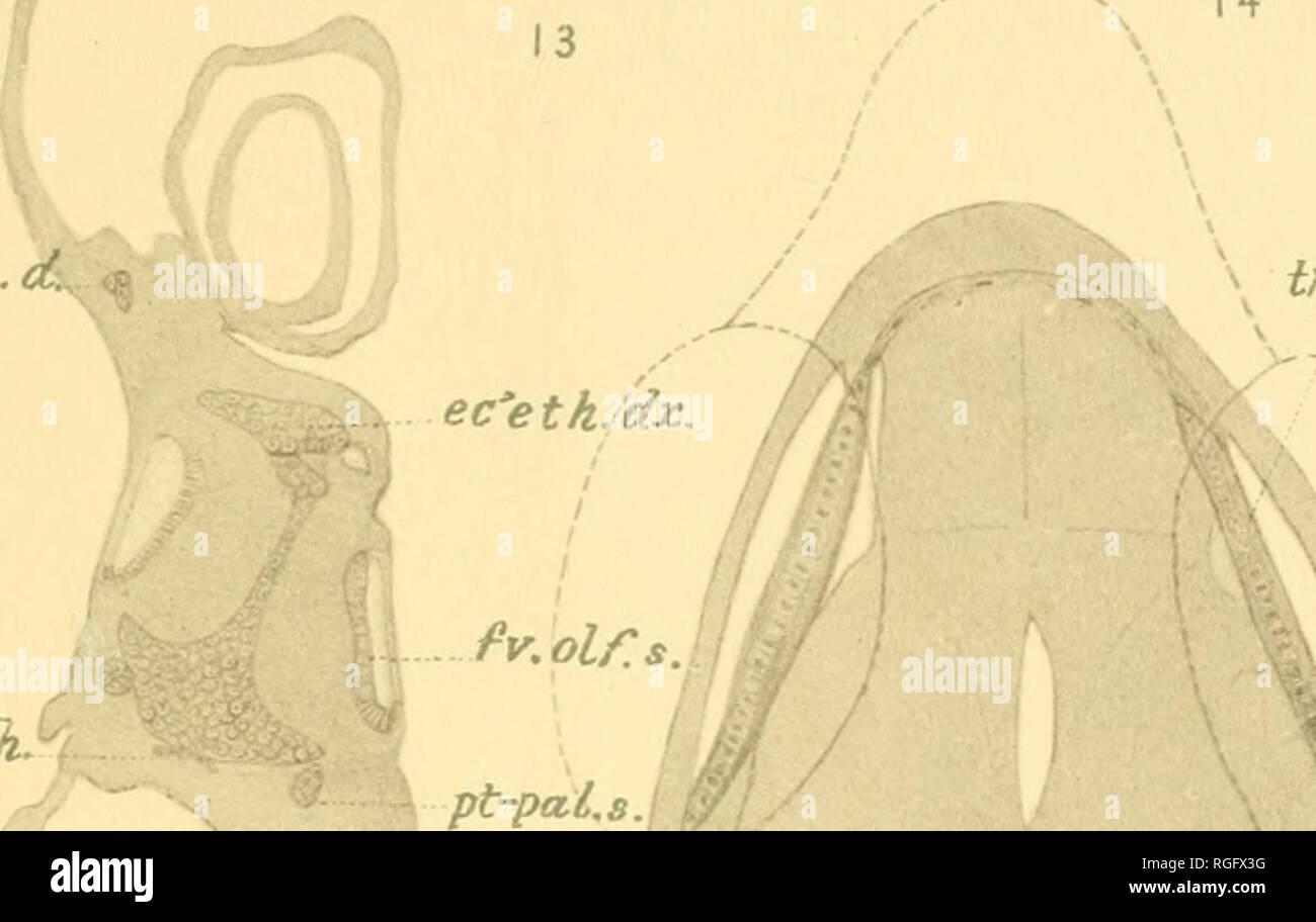 . Bulletin du Museum of Comparative Zoology de Harvard College. Zoologie. 3-EXE TE 3. 14 cri.pin. pa sp. crt. mk. ean.smi'erc.' cisr.su'orb.dx-:y. W cl. crt. crt. axe..d. inxo'nt.tia. t'c'etliJS. 17 j.dx. oU.su. Â tr6.su.*ori.dx. ir6.su.'orbes. lct.opt.s c6. / .R % ba-hy. /R. tcr.mk. fr6.. Veuillez noter que ces images sont extraites de la page numérisée des images qui peuvent avoir été retouchées numériquement pour plus de lisibilité - coloration et l'aspect de ces illustrations ne peut pas parfaitement ressembler à l'œuvre originale.. L'Université de Harvard. Museum of Comparative Zoology. Cambridge, Mass.: Le Musée Banque D'Images