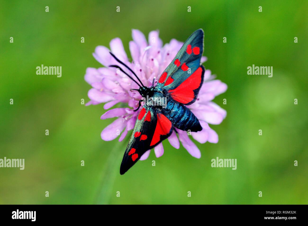 Six-spot Burnet Moth, Zygaena filipendulae, une espèce d'Day-Flying Banque D'Images