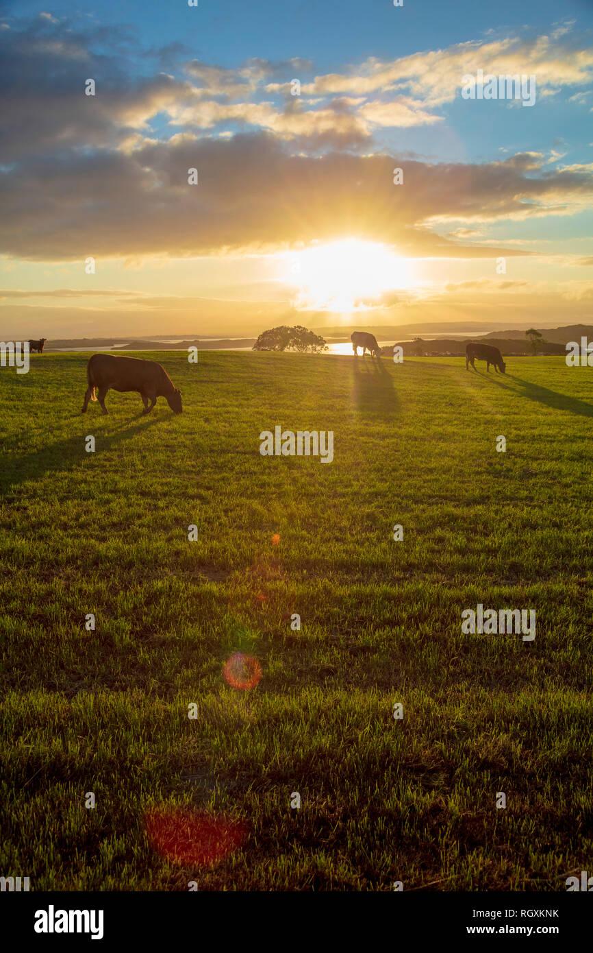 Le pâturage du bétail dans un champ au coucher du soleil, Comté de Sligo, Irlande. Banque D'Images
