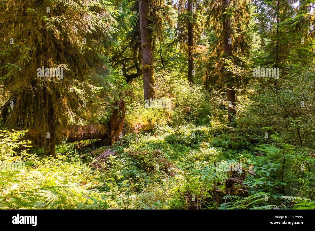 Hoh forêt dans la péninsule Olympique, dans l'état de Washington, USA Photo Stock