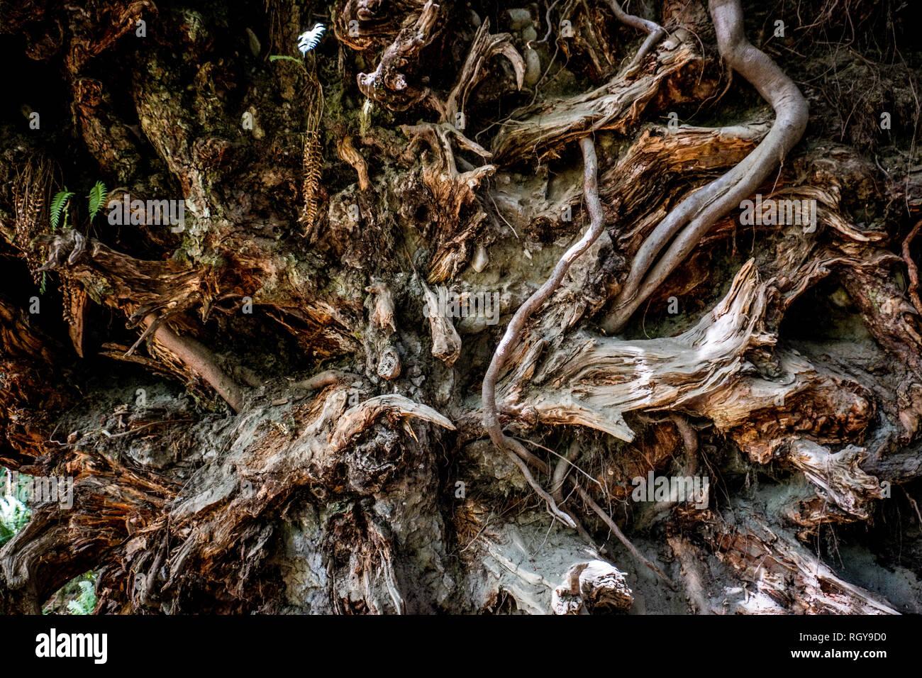 Racines dans la forêt d'Hoh Photo Stock