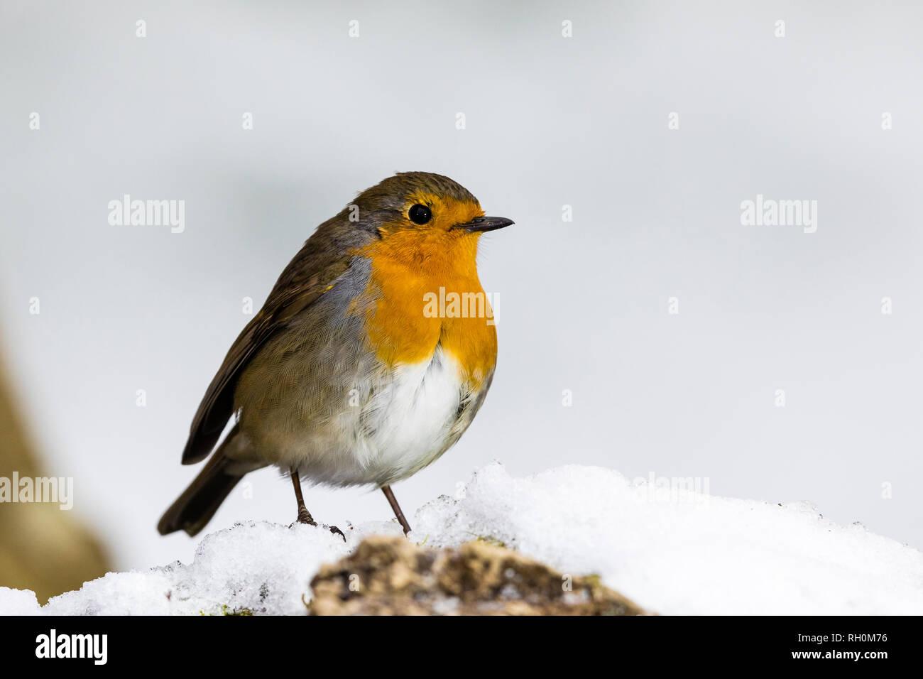 Blaenpennal, Aberystwyth, Pays de Galles, Royaume-Uni. 31 janvier 2019. Un merle est à la recherche de nourriture l'une de mes zones d'alimentation dans la neige fraîche au milieu du Pays de Galles. Credit: Phil Jones/Alamy Live News Photo Stock