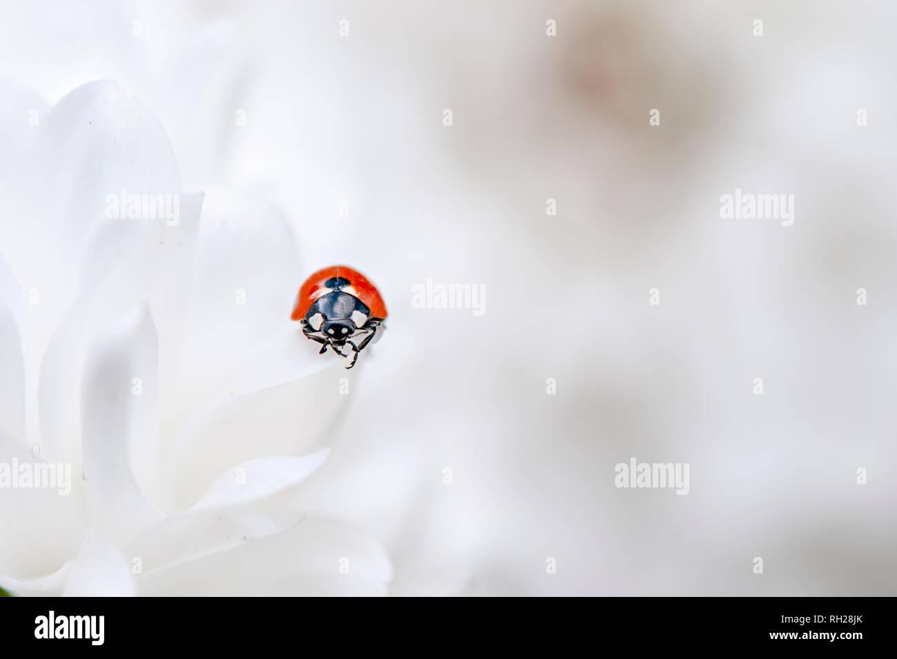 Image en gros plan d'un 7-spot Ladybird - Coccinella septempunctata reposant sur des pétales de Dahlia blanc pur Banque D'Images