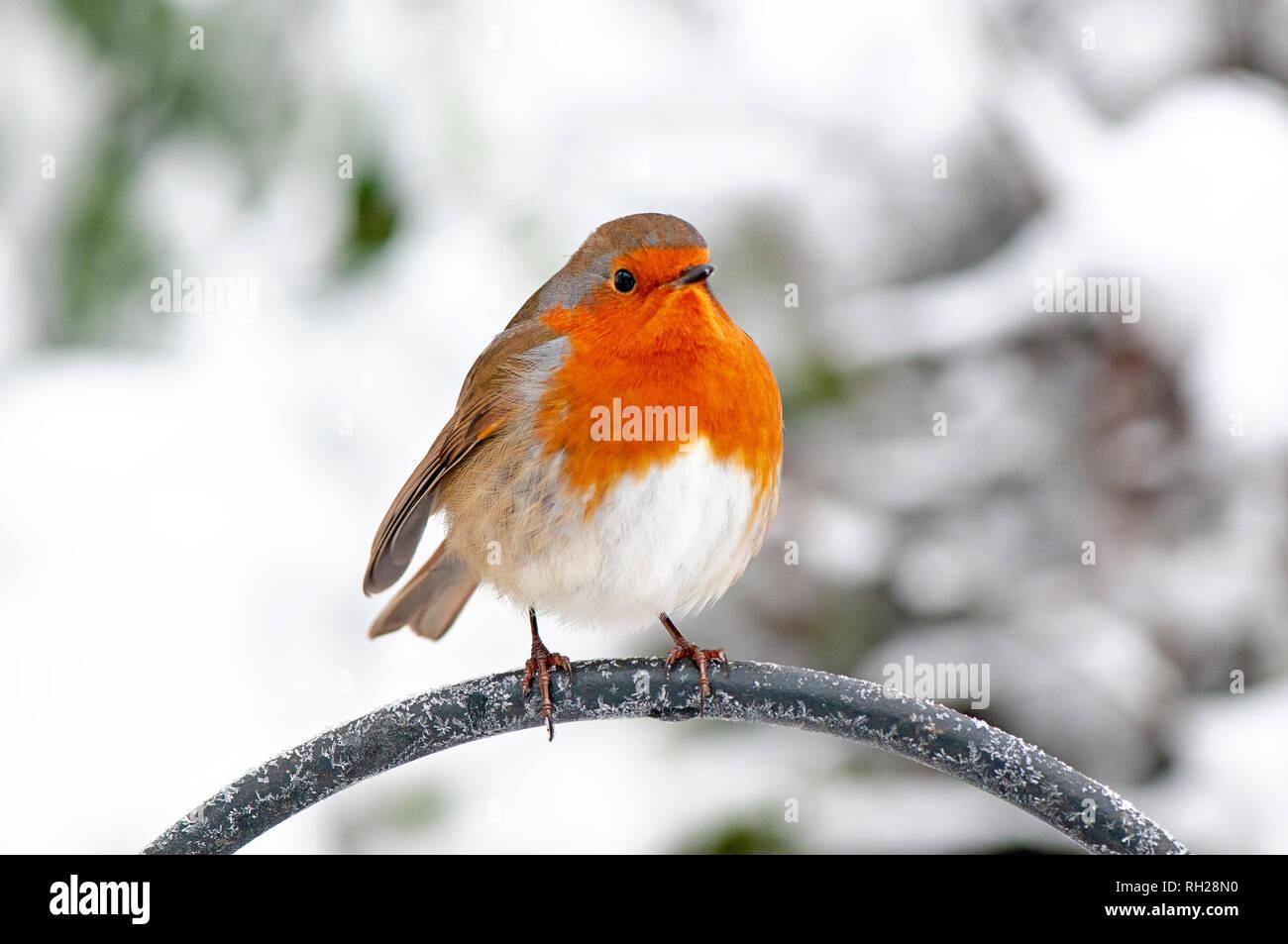 Image en gros plan d'une poitrine rouge merle perché dans la neige de l'hiver Banque D'Images